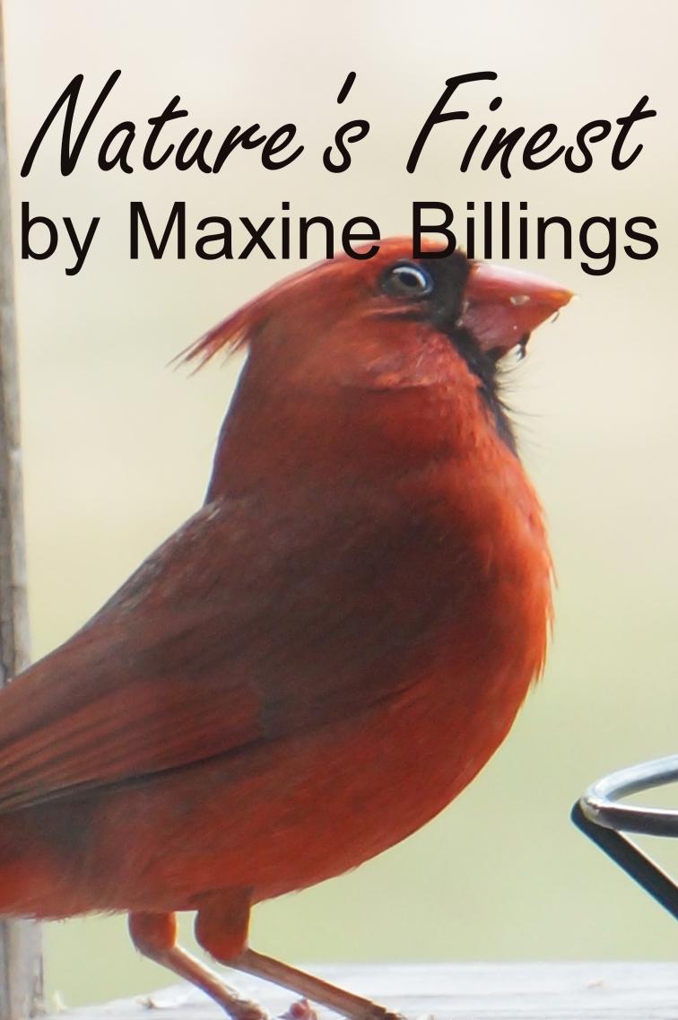 BIRD (CARDINAL) NF.jpg