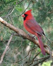 BIRD (MALE CARDINAL) WIKIPEDIA.jpg